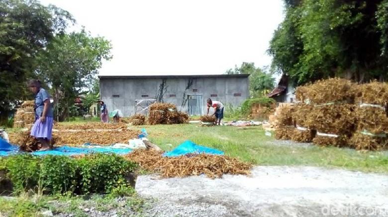 Petani Grobogan Khawatir Hujan Turunkan Kualitas Panenan Kedelai