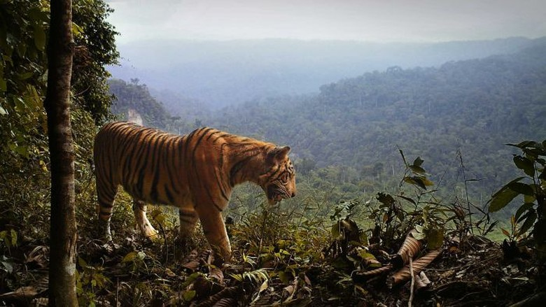 Kepunahan Harimau Sumatra Semakin Memburuk