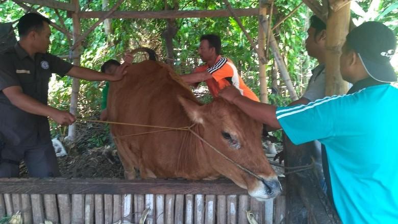 Dinas Peternakan Optimis Penyakit Sapi - Situbondo Sejumlah dokter hewan dari Dinas Peternakan Kabupaten dan Propinsi Jawa Timur diterjunkan ke Kecamatan Mereka melakukan pemeriksaan