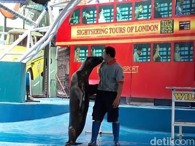 Singa Laut Bikin Baper Pengunjung Jatim Park 2