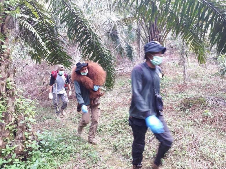 Orangutan Tanpa Kepala Diduga Dibunuh karena Dianggap Hama