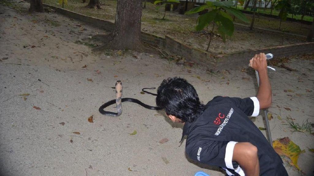 Foto: Aksi Warga di Gorontalo Berhadapan dengan King Kobra
