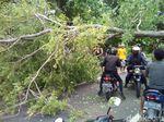 Pohon Tumbang, Arus Lalin Pati-Purwodadi Sempat Tersendat