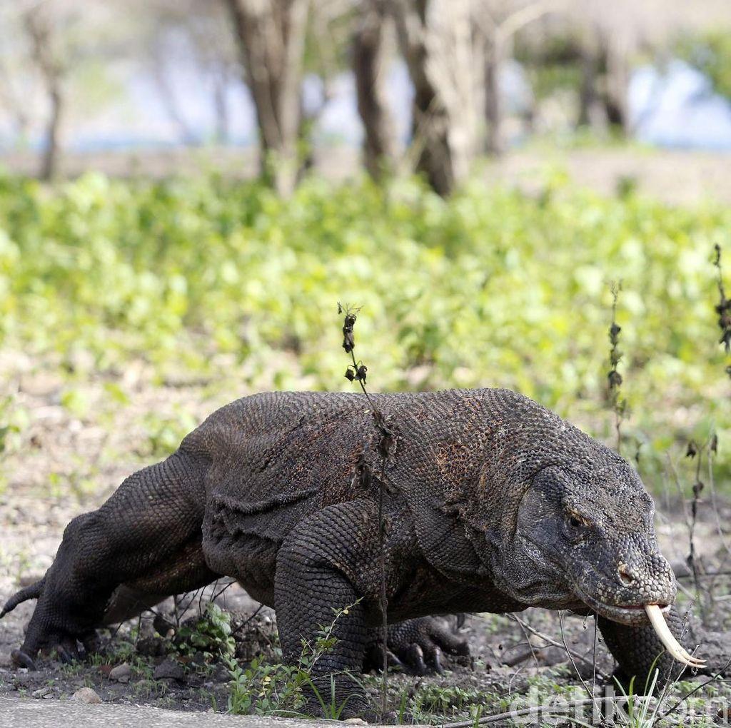 Pulau Komodo: Dipuji Media Australia, Disoroti Media Inggris