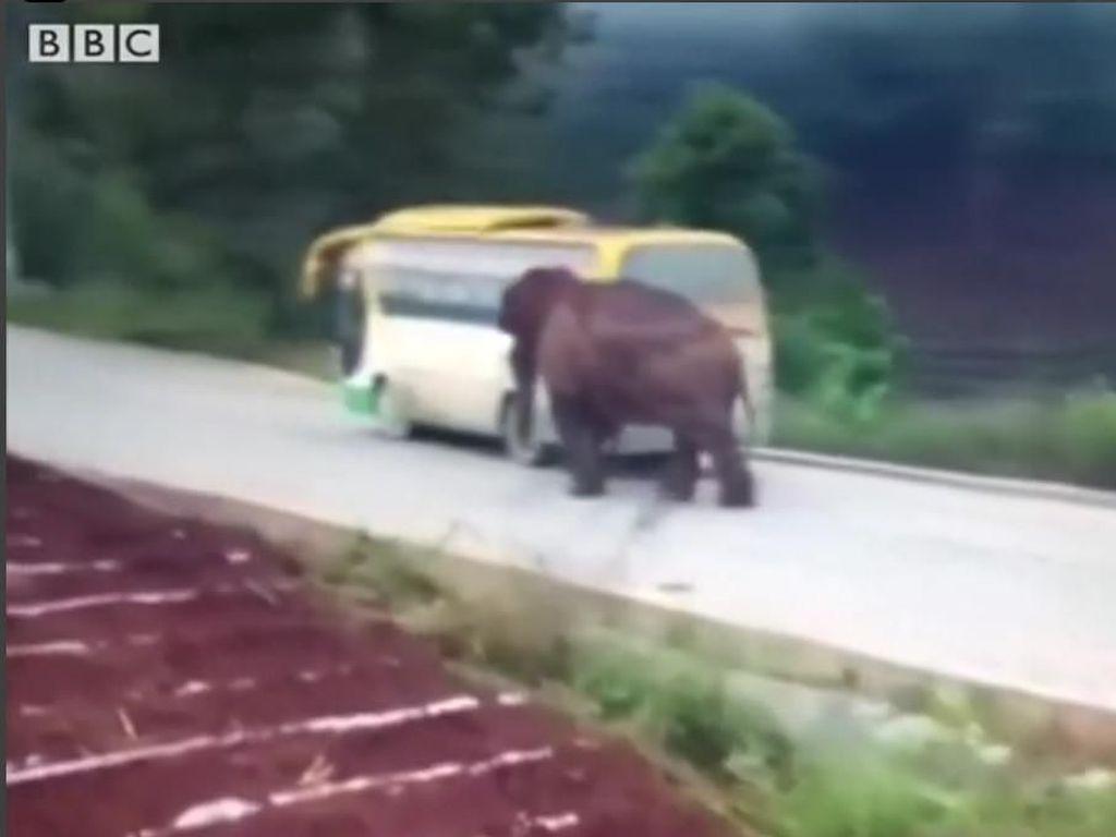 Aksi Serangan Gajah di Jalanan, Seruduk Bus hingga Truk