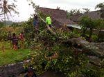 Hujan Es, Puluhan Pohon Bertumbangan di Bondowoso