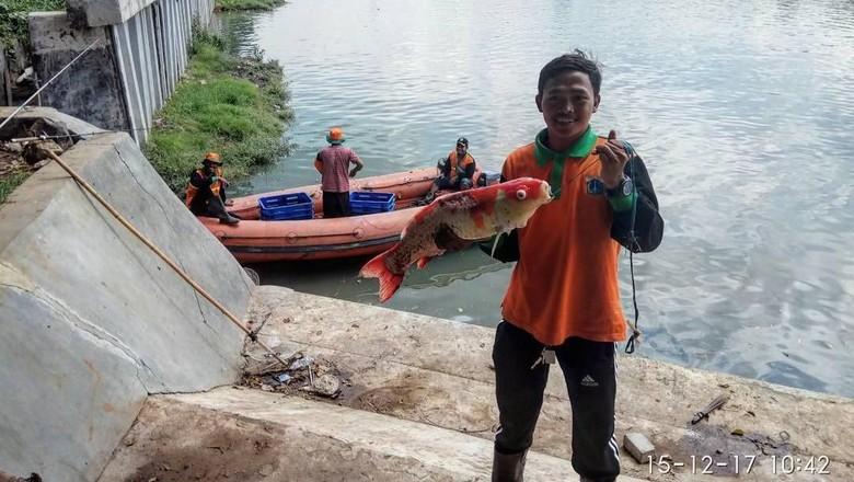 Cerita Pasukan Oranye Temukan Ikan Koi di Danau Sunter Jakut