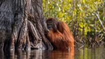 Orangutan Tak Biasa Jadi Foto Terbaik Nat Geo 2017