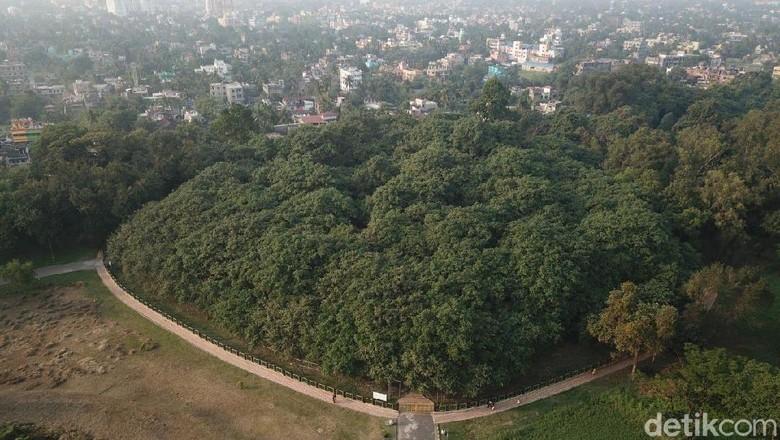 Foto: Pohon Banyan yang konon terbesar di dunia (Fuad Faris/detikTravel)