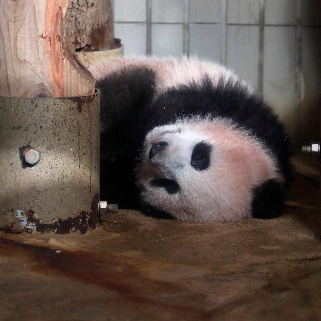 Bayi Panda Ini Goler-goleran Jelang Debut di Kebun Binatang Tokyo