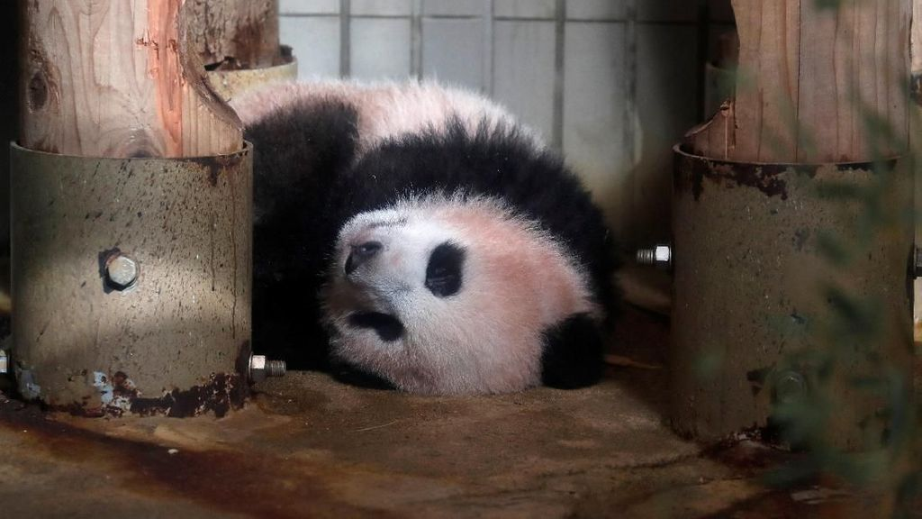 Video: Penampilan Perdana Bayi Panda Kelahiran Prancis Pukau Publik