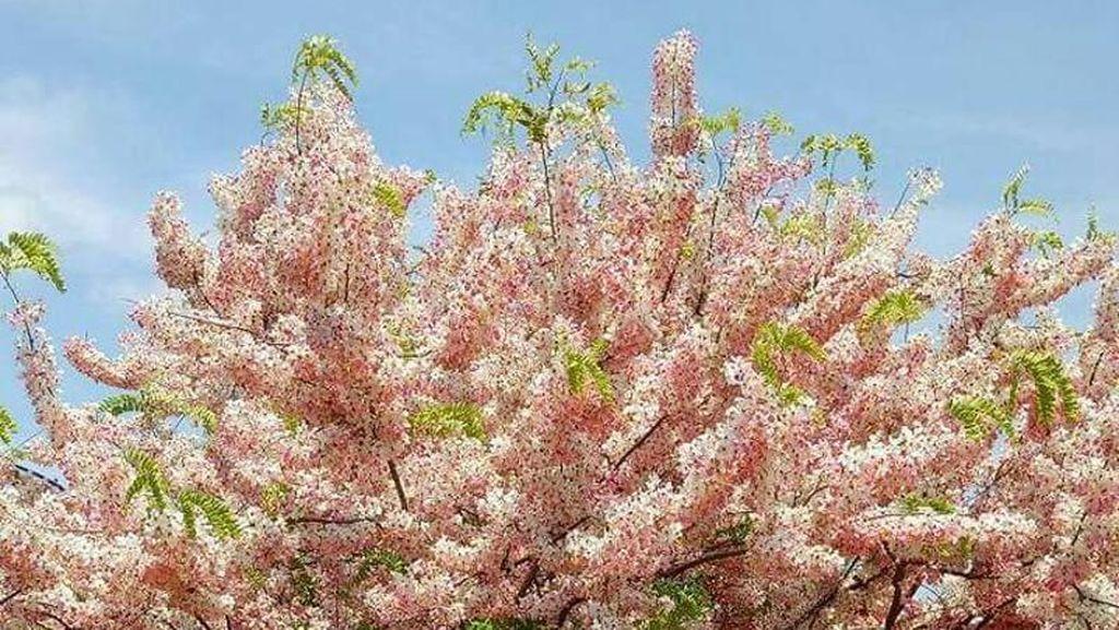 Yang Kamu Belum Tahu: Bunga Sakura di Sumba