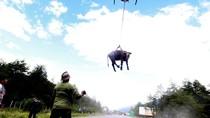Saat Sapi yang Penuh Lumpur Diangkut dan Digantung Pakai Helikopter