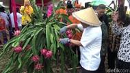 Punya Prospek Cerah, Banyuwangi Kembangkan Buah Naga Organik