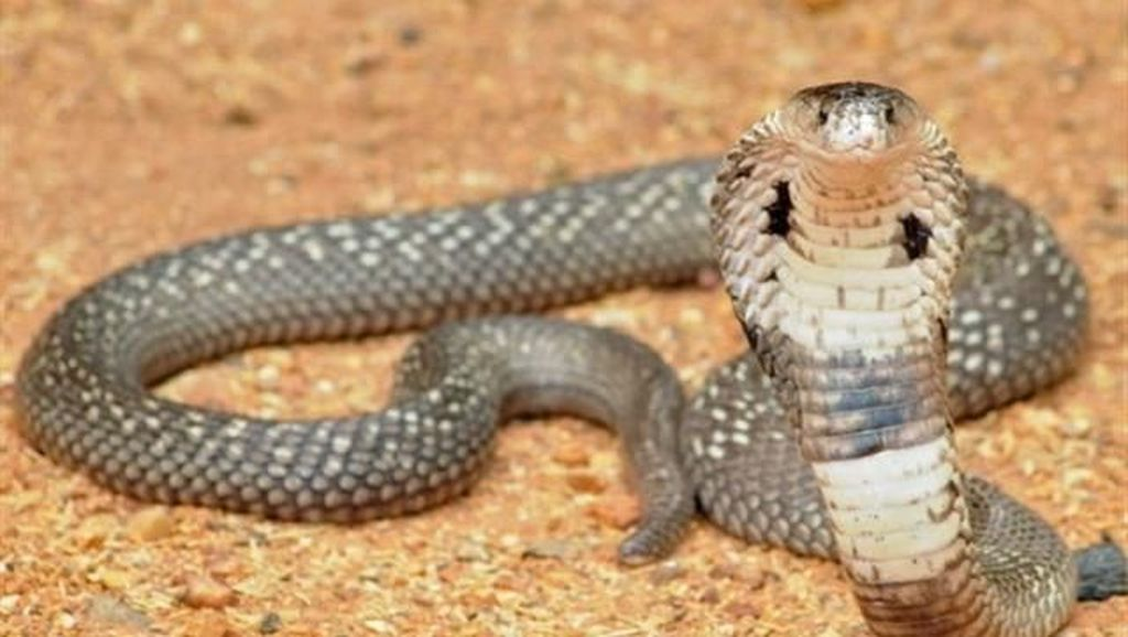 Foto: Ngaku Berani, Coba Datang ke Desa Kobra Ini