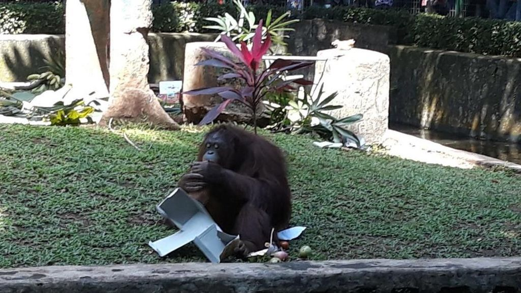 Orangutan Dapat Kado Tahun Baru di Ragunan, Begini Reaksinya