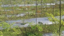 Musim Hujan Bikin Kesal Petani Cabai Ponorogo