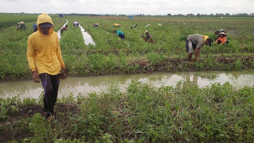 PNS Demak Beli Bawang Merah Petani Rp 15.000/Kg