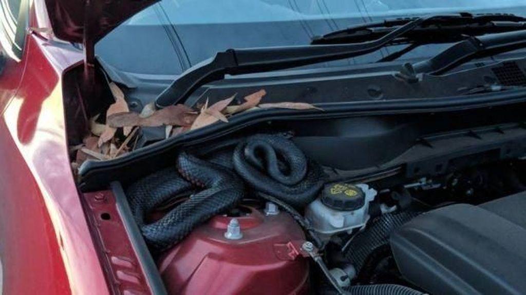 Hiii... Ada Ular di Balik Kap Mesin Mobil Ini