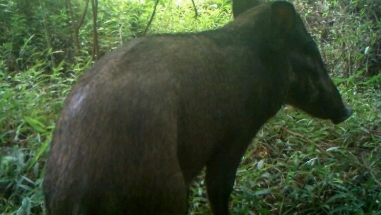 'Babi Terjelek' di Dunia Tertangkap Kamera di Hutan Indonesia