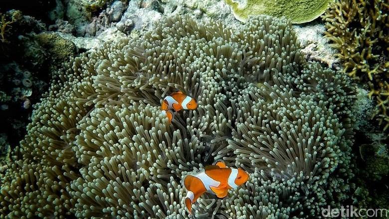 Ikan nemo di Pulau Kapoposang, Sulawesi Selatan (Moehammad Bakrie/detikTravel)