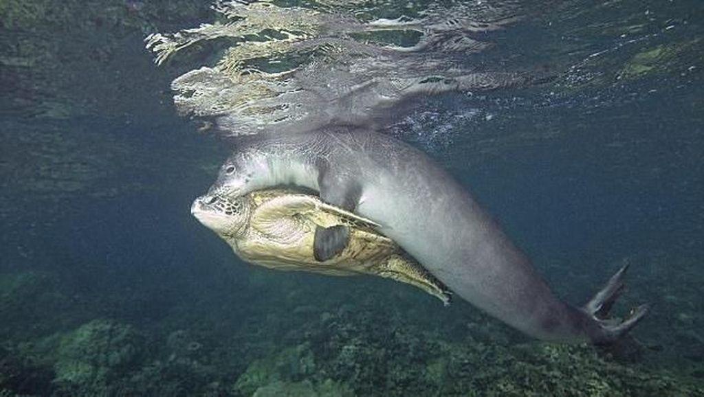 Momen Langka: Anjing Laut Menyelamatkan Penyu di Dalam laut