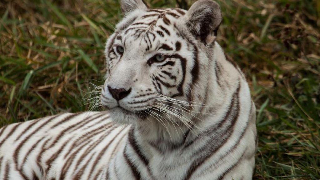 Lucu! Harimau Ikutan Bersih-bersih Kaca di Kebun Binatang