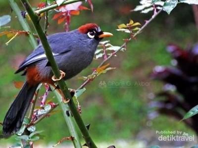 Burung Liar di Dataran Tinggi Malaysia Ini Tak Takut Manusia