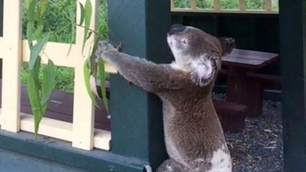 Keji! Koala Ditemukan Mati dan Dipaku ke Tiang