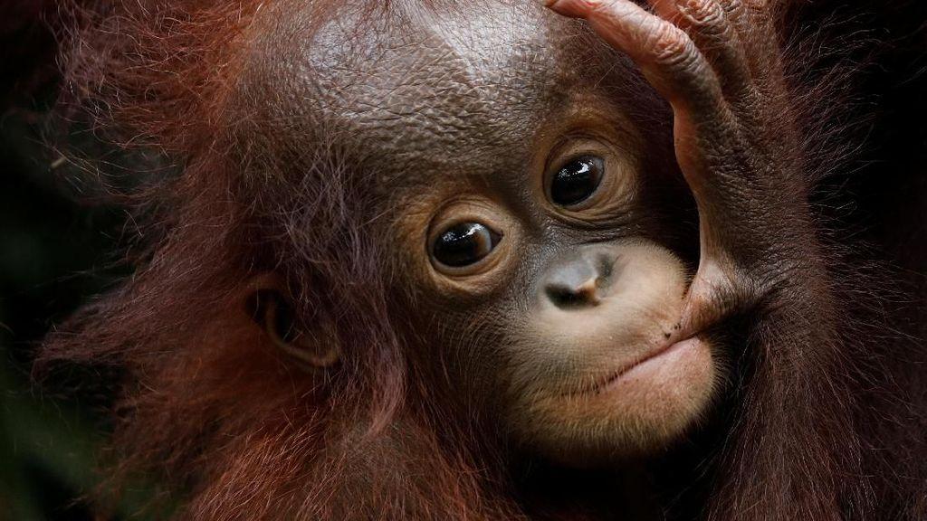 Lucunya Tingkah Polah Bayi Orang Utan di Kebun Binatang Singapura