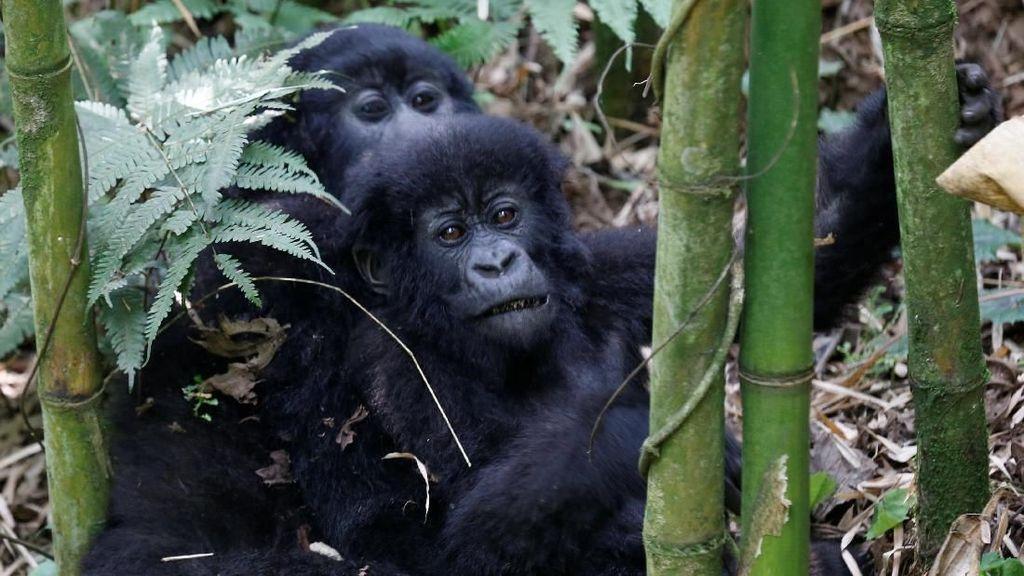 Foto: Keakraban Keluarga Gorila yang Terancam Punah di Rwanda