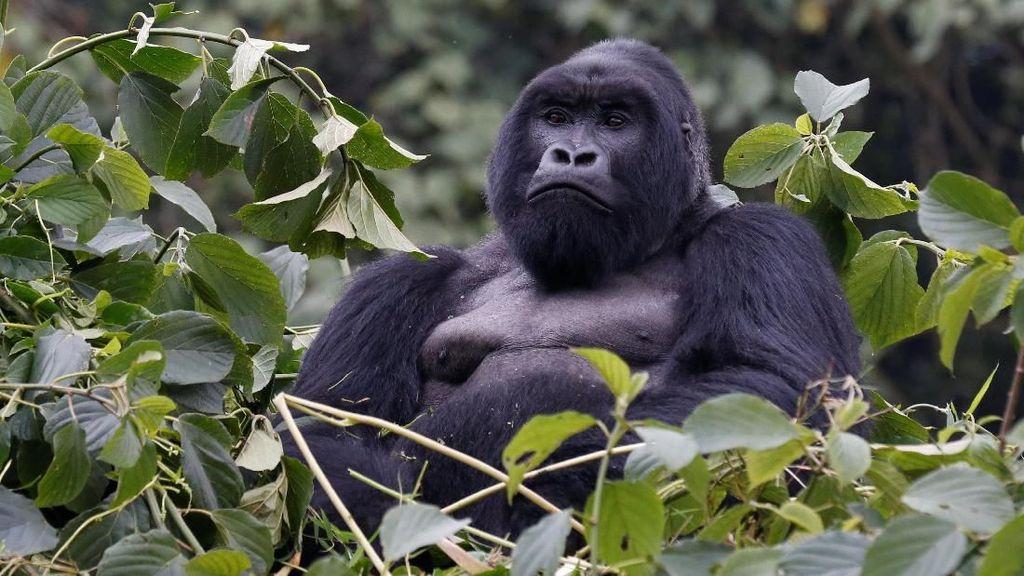 Lucu! Gorila Ini Pandai Meniru Gaya Pawang Bonbinnya