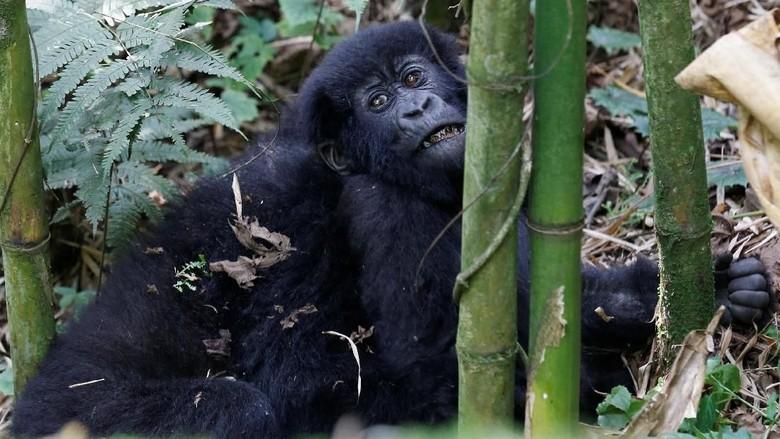 Populasi Gorila Gunung di Rwanda Kian 'Membludak'