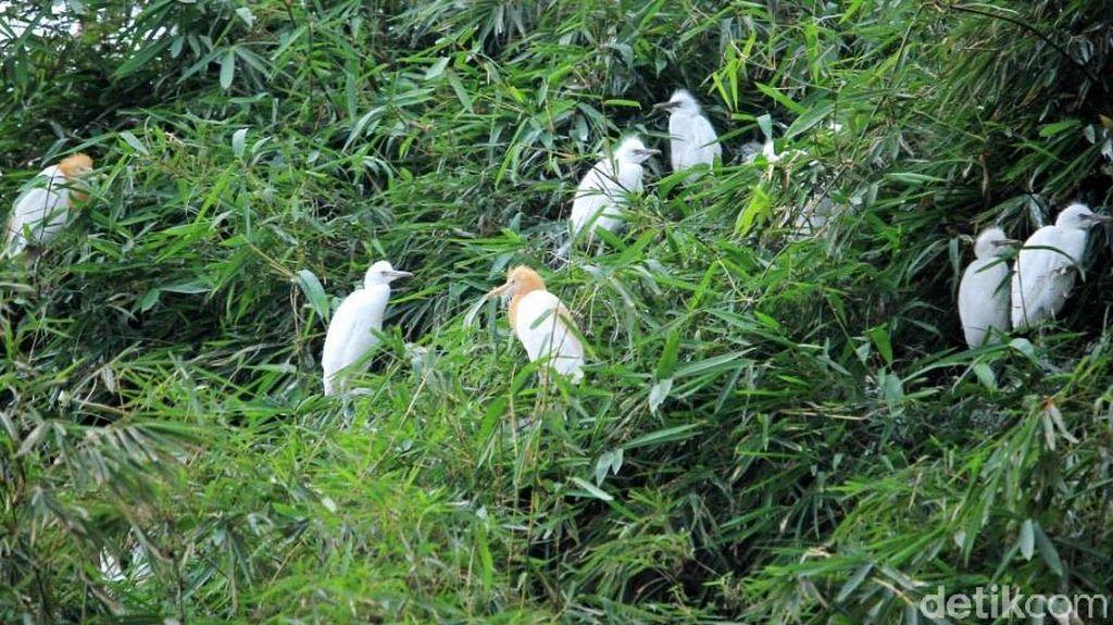Menyaksikan Burung Kuntul dan Blekok Bebas Liar di Rancabayawak
