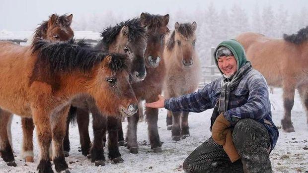 Salah seorang warga membersihkan salju dari tubuh kuda jenis Yakut
