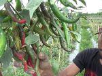 Petani Cabai Banyuwangi Merugi, Hujan Paksa Panen Lebih Dini