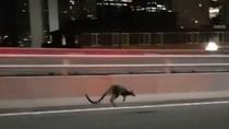 Bikin Heboh! Walabi Mendadak Muncul di Sydney Harbour Bridge