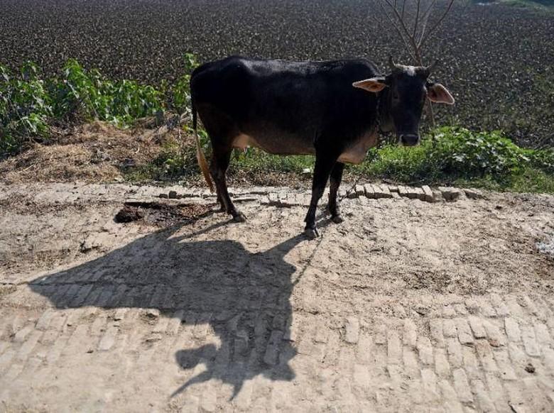 Napi di India akan Jalani 'Terapi Sapi', Ini Tujuannya