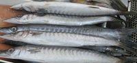 Sedapnya Ikan Alu-alu Berbumbu Tauco Khas China Peranakan Tangerang