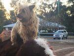 Anjing Ini Lintasi Queensland Sejauh 1.500 Km Menumpang di Truk