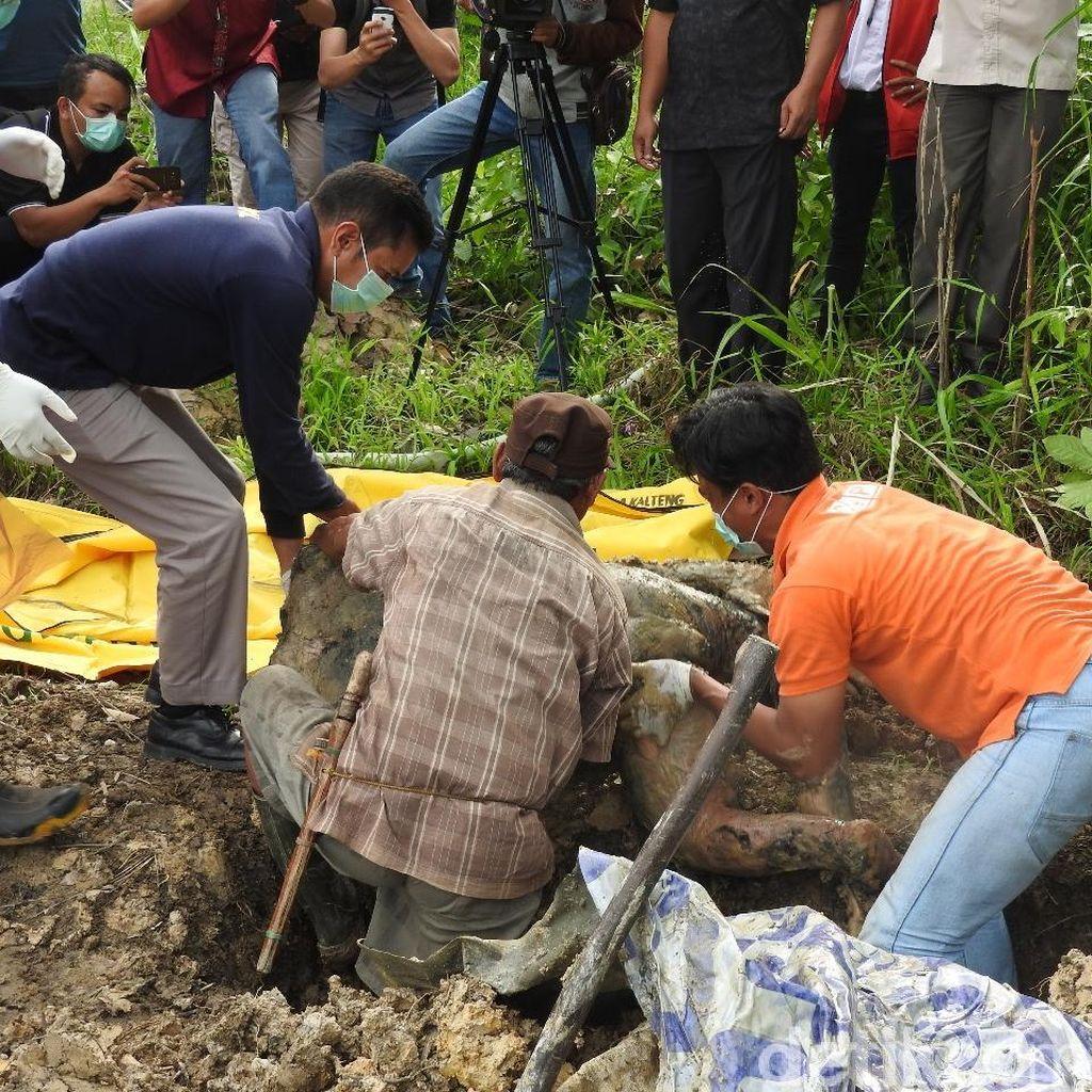 Foto: Kisah Tragis Orangutan di Berbagai Daerah di Indonesia