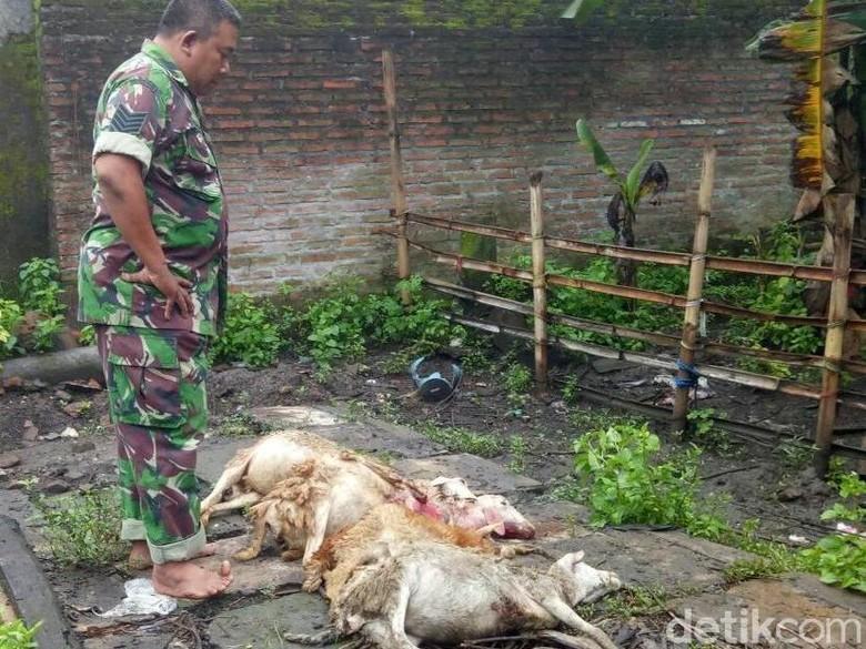 Kambing Mati Misterius di Jember Diduga Digigit Anjing Jenis Pemburu