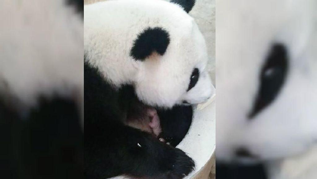 Video Kelahiran Anak Panda di Malaysia