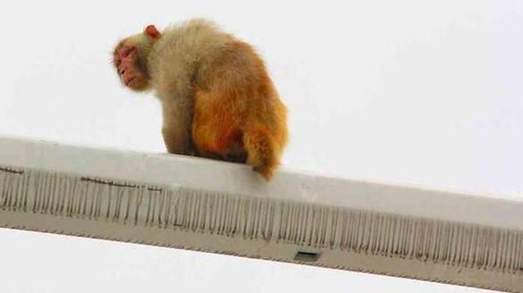 Lucu! Pantat Monyet Dikira Sebagai Lampu Merah