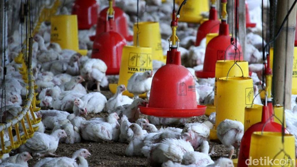 Harga Daging Ayam di Pasar Masih Mahal, Bagaimana di Peternak?