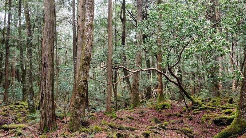 Hutan Aoikigahara di kaki Gunung Fuji, Jepang. Hutan rimbun ini dikenal sebagai tempat bunuh diri. Sering orang yang masuk ke hutan ini tersesat, bahkan tidak pernah keluar lagi (Thinkstock)