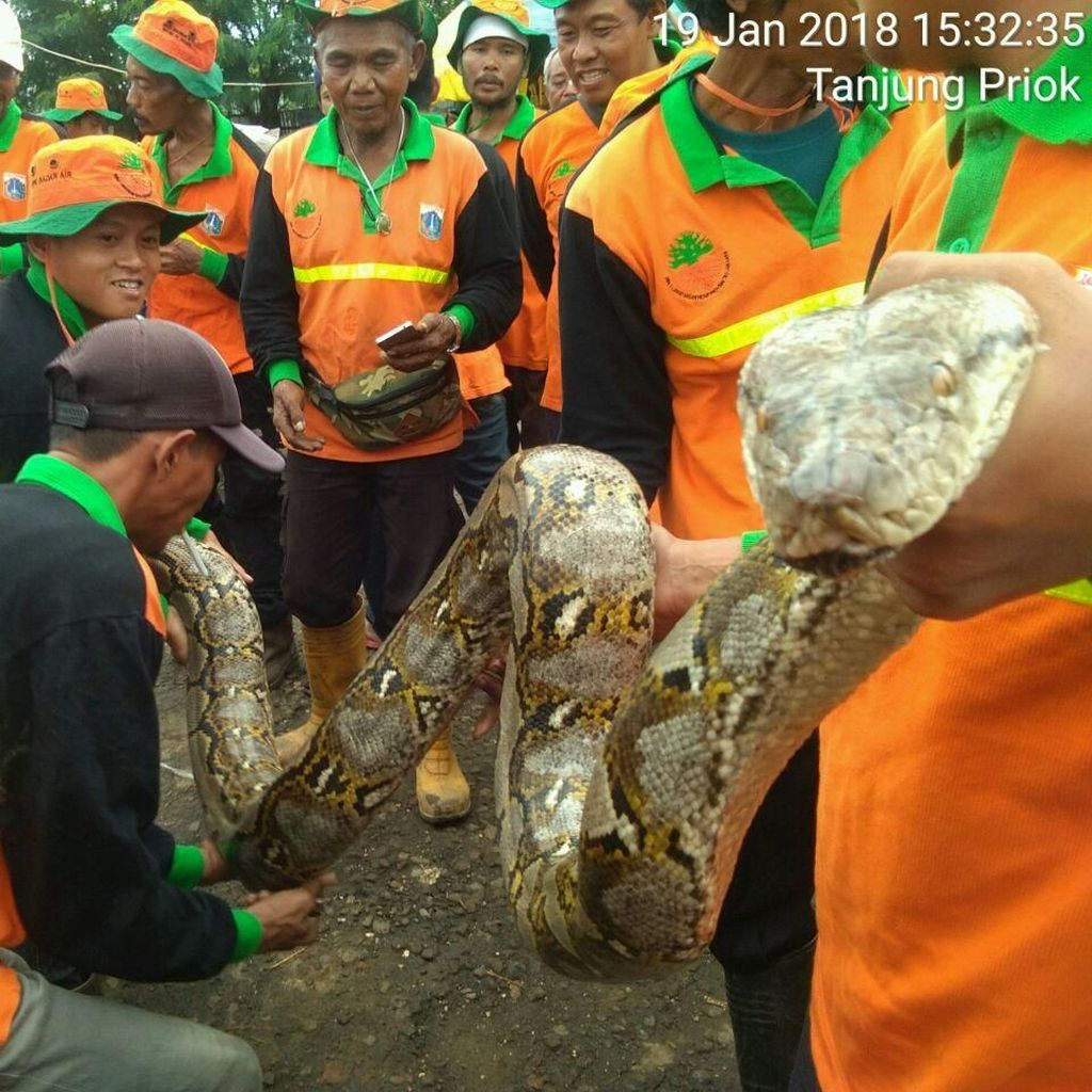 Foto: Tanpa Perlawanan, Ini Ular Sanca yang Ditangkap Pasukan Oranye
