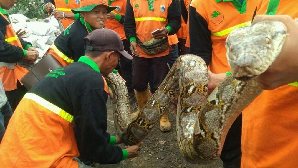 Alasan Mistis, Ular Sanca 4 Meter yang Muncul di Danau Sunter Dilepas
