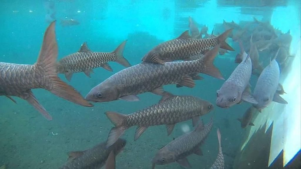 Sensasi Berenang dengan Ikan Dewa