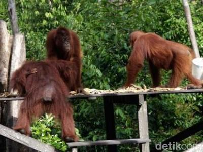 Mengunjungi Rumah Orangutan di Kalimantan Tengah